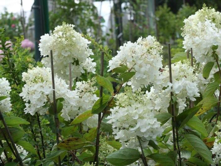 Decorative shrubs
